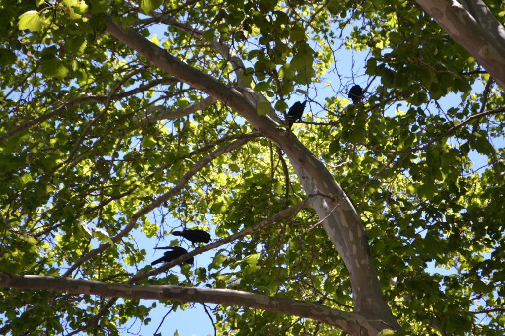 Australian ravens Perth DSC_0268