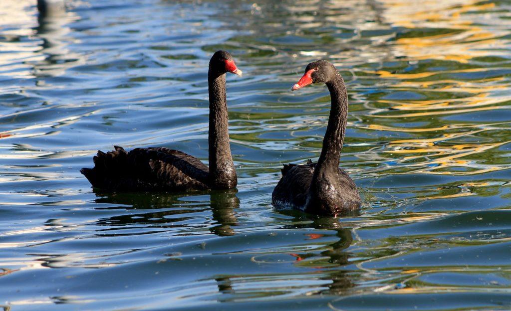 black swan-1638932_1280