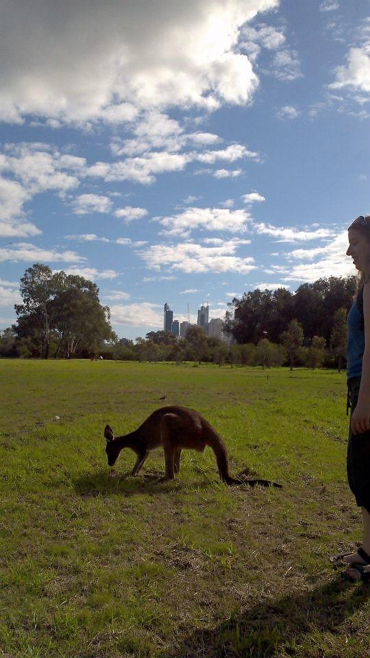 me and a kangaroo and city of Perth 282720_856978546015_1869717992_n (2)