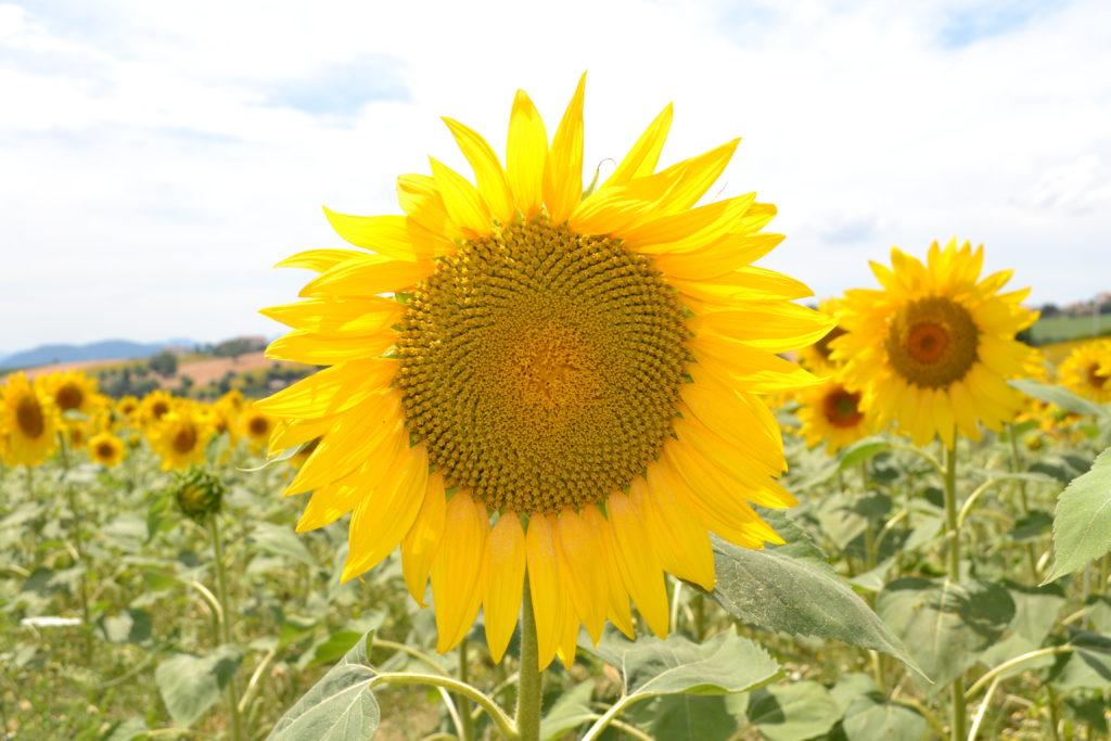 Sunflowers Le Marche Italy DSC_0324