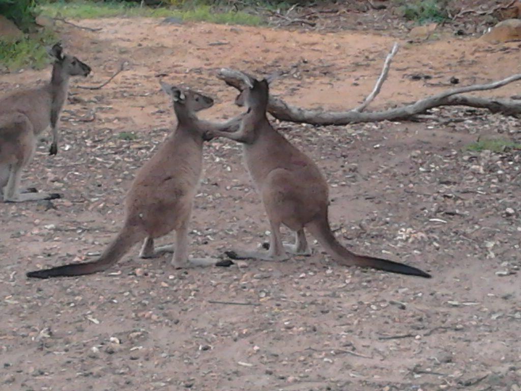 Boxing Kangaroos 10 Things to Know About Kangaroos Before You Visit Australia 2012-10-13 14.39.48