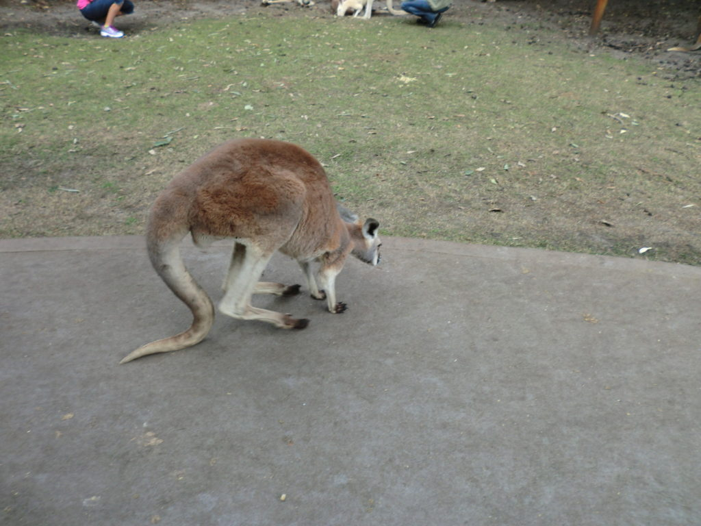Kangaroo on tail 10 Things to Know About Kangaroos Before You Visit Australia CIMG1226